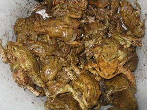 Erdkröten - sind auf ihr Geburtsgewässer konditioniert und brauchen für die Wanderung dorthin (zurück) unsere Hilfe, solange kein Krötentunnel Ihren - Hin- und Rück- Weg sichert!