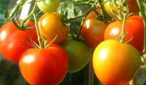 Tomaten, die nach Tomaten schmecken ;-)    (Foto: Nttzfrauen)